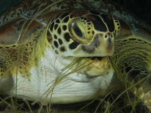 Green Turtles (Chelonia mydas)photo credit BS and RD Kirkby