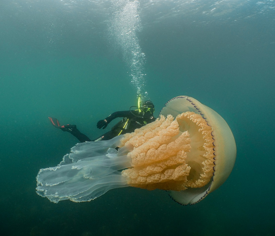 Lizzie Daly with giant barrel jellyfish courtesy of Dan Abbott