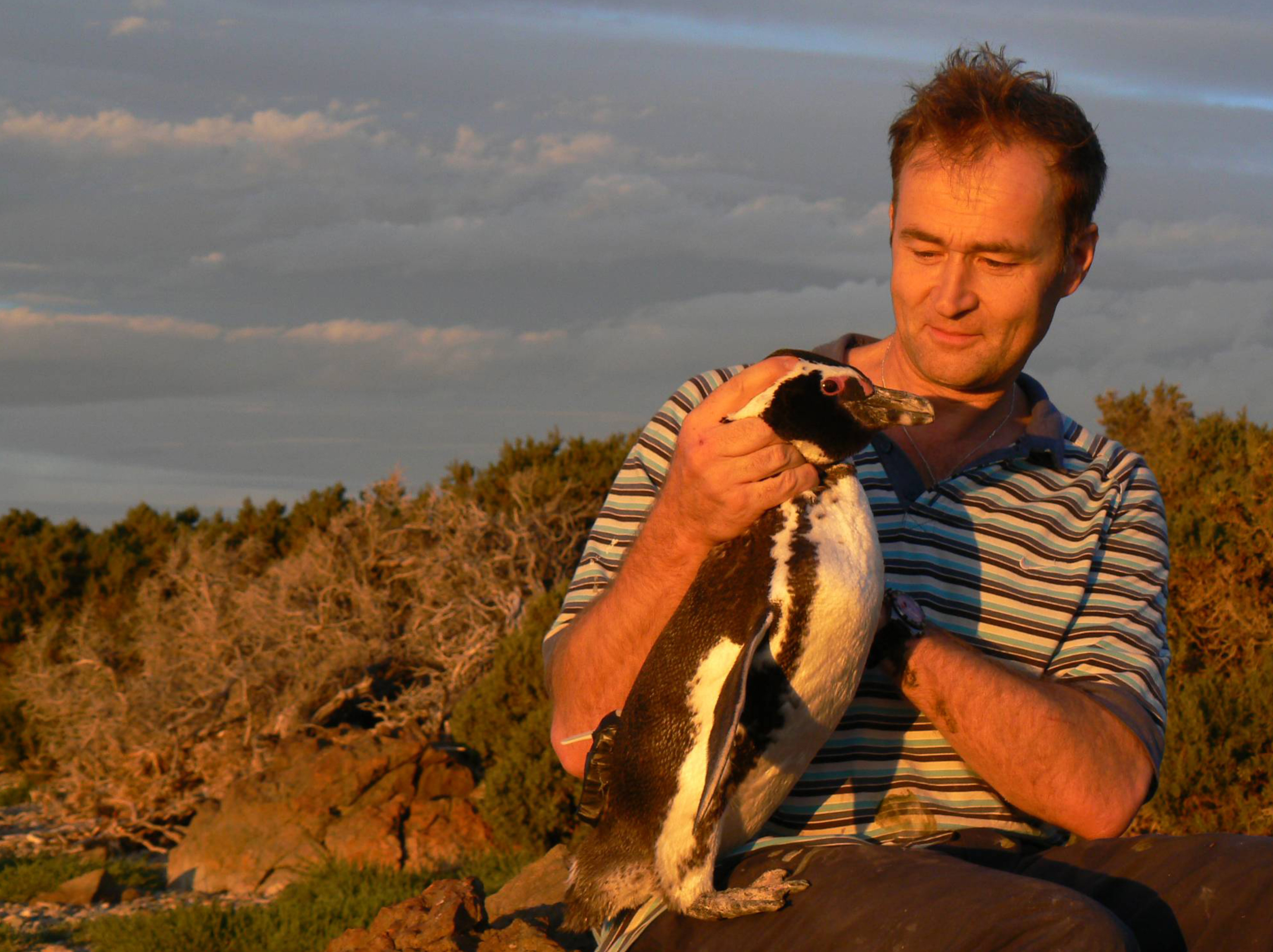 Prof Rory Wilson with a Magellanic penguin