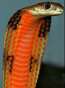 King Cobra by Kevin Messenger